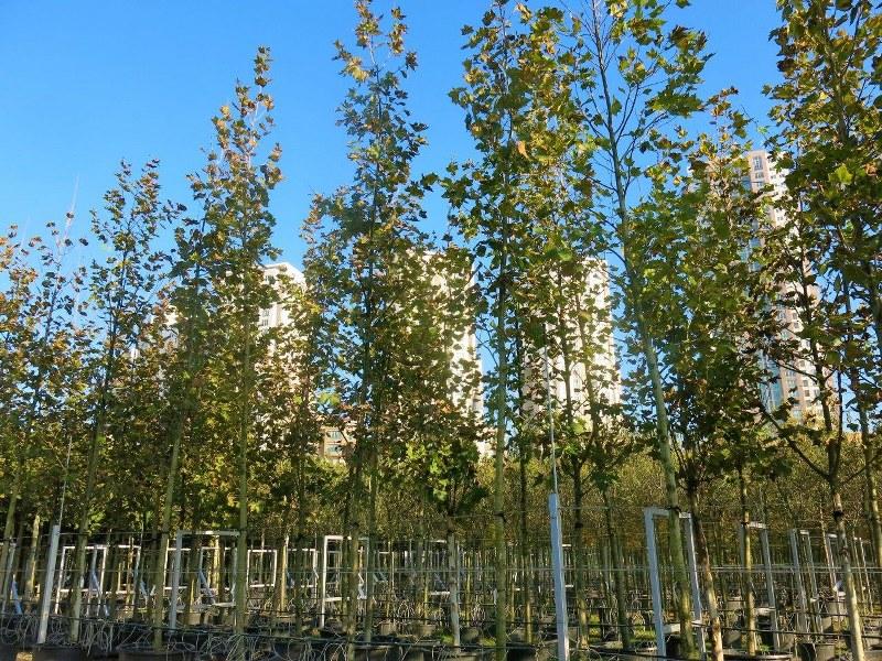 çınar ağacı hakkında geniş bilgi