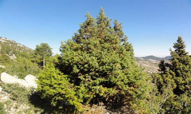 andız ağacı özellikleri