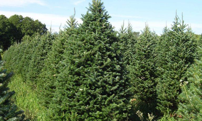 koknar ağaç talaşı