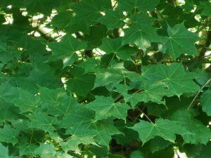 çınar yapraklı akağaç özellikleri