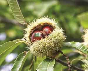 kestane meyvesi anadolu ağacı