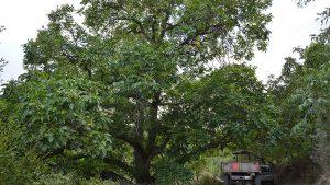 ceviz ağacı hakkında