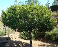 defne ağacı hakkında